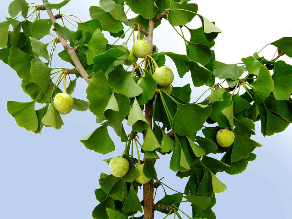 Гинкго – национальное дерево Китая