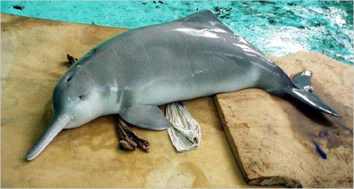 Китайский речной дельфин или байцзи