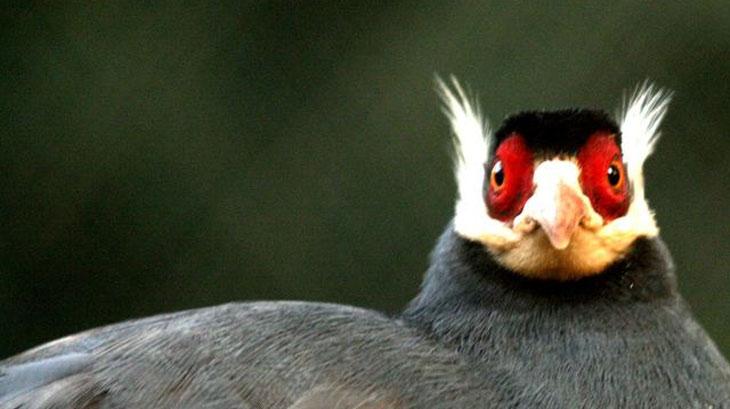 Коричневый ушастый фазан