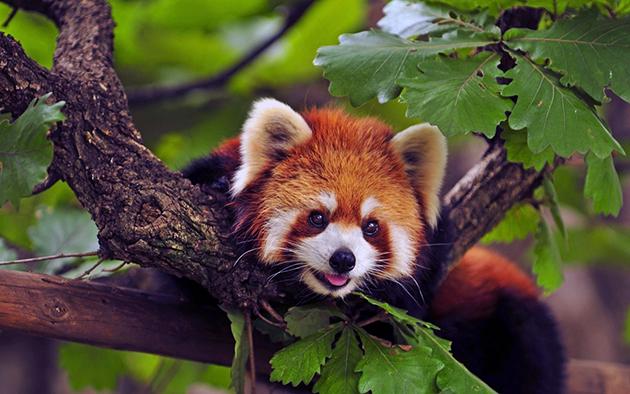 Малая или красная панда