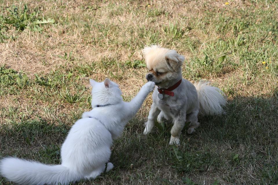 Тибетский спаниель и кот